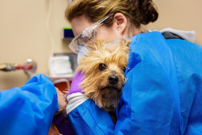 Dog receiving chemotherapy