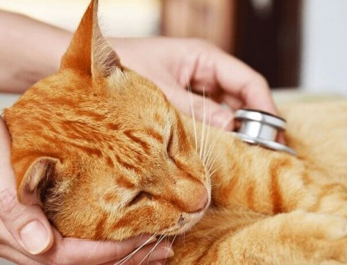 What are the Signs of Heart Disease in Cats?